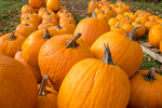 Pumpkins ready for sale