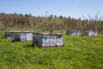 Bee hives in an apple orchard