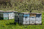 Bee hives in a Massachusetts apple orchard