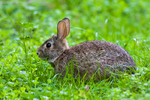 An eastern cottontail rabbit
