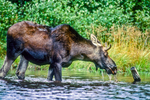 A moose on Second Roach Pond in Maine