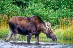A bull moose feeding on plants in Second Roach Pond in Maine