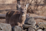 A white tailed deer in the Quabbin Reservoir