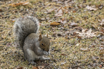 An eastern gray squirrel eating seeds