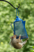 An eastern gray squirrel climbing on a bird feeder to get seeds