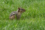 An eastern chipmunk