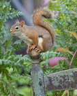 A red squirrel sitting on the back of a chair in a garden
