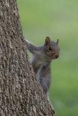 An eastern gray squirrel climbing on a tree
