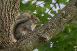 An eastern gray squirrel in a tree