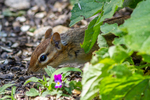 An eastern chipmunk eating seeds from a bird feeder