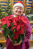 A woman holds a large red poinsettia plant