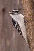 A downy woodpecker on a tree