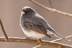 A  junco on a tree branch