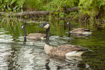Three Canada Geese swimming in a small pond
