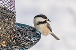 A black capped chickadee at a feeder in the winter