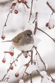 A junco sitting on a branch in a crab apple tree in the winter