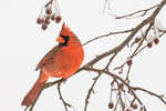 A male cardinal sits on a branch in a crab apple tree