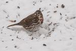 A fox sparrow eating sunflower seeds