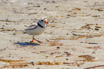 A piping plover at Crane Beach in Ipswich, MA