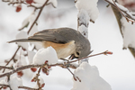 A tufted titmouse in a snow covered tree