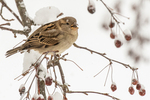 A sparrow sits on a snow covered branch