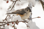 A tufted titmouse sits on a snow covered crab apple tree branch