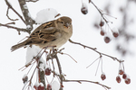 A sparrow sits on a branch in a crab apple tree