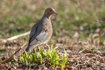 A mourning dove on the ground