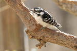 A downy woodpecker sits on a tree branch
