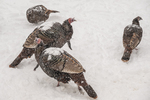 Wild turkeys during a snow storm look for food