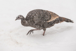 Wild turkey during a snow storm looking for food
