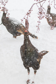 Wild turkeys trying to eat crab apples from the tree branch