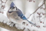 A blue jay sits on a snow covered crab apple tree branch