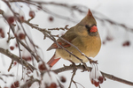A female cardinal sits on a snow covered crab apple tree branch