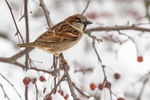 A house sparrow sits on a crab apple tree branch