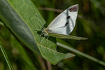 A cabbage white butterfly on a milkweed plant