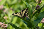 An eastern tiger swallowtail on a milkweed plant