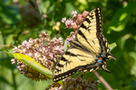 An eastern tiger swallowtail getting nectar from a milkweed plant