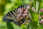 An eastern tiger swallowtail butterfly getting nectar from the flowers on a milkweed plant