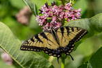 An eastern tiger swallowtail butterfly getting nectar from a milkweed flower