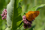 Great Spangled Fritillary butterfly on a milkweed flower