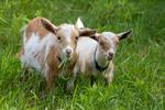 Two Norwegian Dwarf goat kids