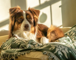 An Australian Shepherd looking intently at YOU as she sits on the couch