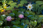 Water lilies in a small pond