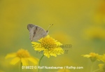 Common Buckeye (Junonia coenia), adult perched on Huisache Daisy (Amblyolepis setigera), Fennessey Ranch, Refugio, Corpus Christi, Coastal Bend, Texas Coast, USA