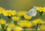 Dainty Sulphur (Nathalis iole), adult feeding on Dogweed (Dyssodia pentachaeta) flower, Laredo, Webb County, South Texas, USA