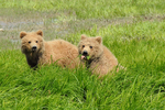 Blond Grizzly cubs