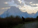 Teton Moose at Sunset