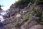 Mountain Goat Family @ waterfalls