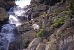Mountain Goat @ Logan Pass
